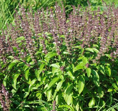 Tulsi Basil For by Pineal Gland And Asthma Amazing Healing