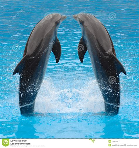jumping dolphin twins stock photo image  jump animal