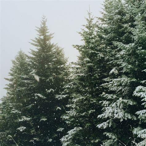 branch christmas cold conifer coniferous evergreen free