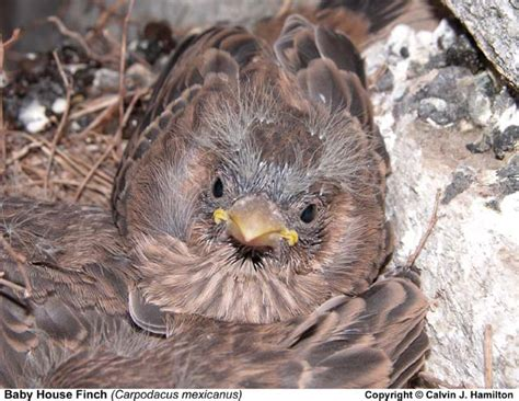 baby house finch pictures house finch babies image search results