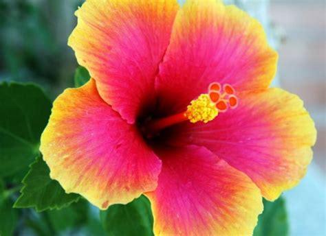 bunga sepatu penjelasan klasifikasi jenis