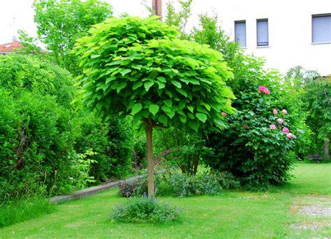alberi da giardino piccolo il mondo in un giardino la pianta antizanzare