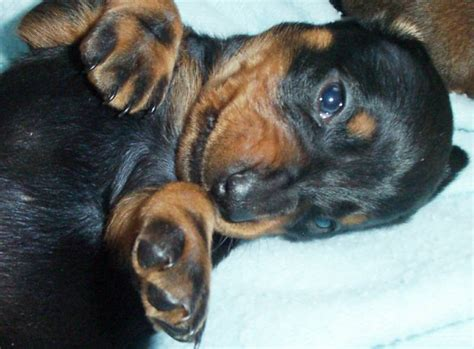 dachshund puppies for sale ny dachshund puppies for sale in ny s dachshunds