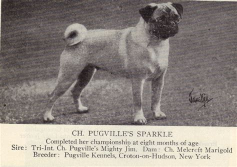 history of pug dogs as promised pug history in photos part 1