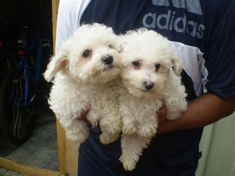 bichon frise puppies for sale in pa bichon frise puppy prices