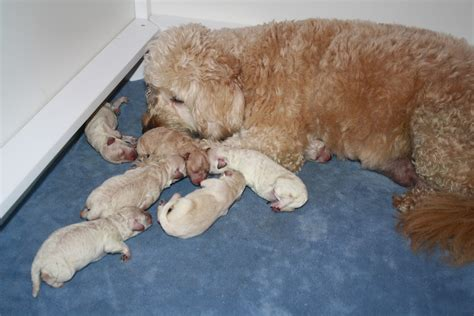 newborn puppy constantly daisey s doodles seattle f1b miniature puppies are here