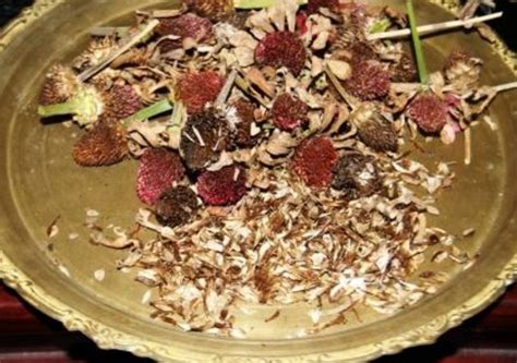 Benih Coklat cara menanam bunga kertas di pot dengan biji stek