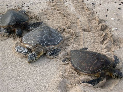 Records Florida Sea Turtle Nesting Records In Florida Wlrn