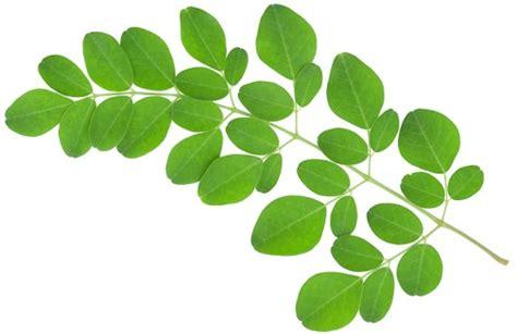 Teh Daun Kelor Moringa Tea manfaat daun kelor moringa oleifera untuk mata hingga diabetes
