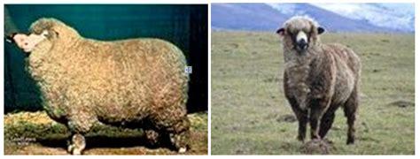 Bulu Domba Abu jenis domba yang ada di indonesia dunia andiana