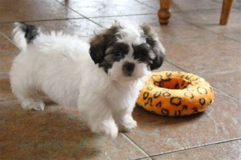 how do you spell shih tzu 17 best images about shih tzu my on puppys tzu and shih tzu mix