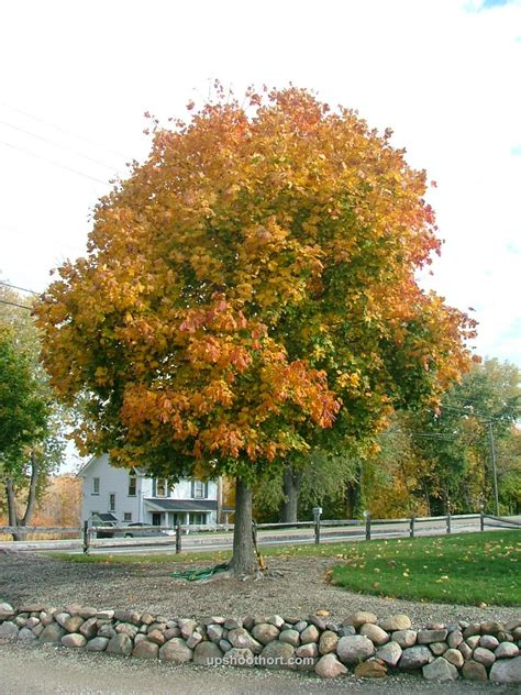 research shows some norway maple cultivars are not