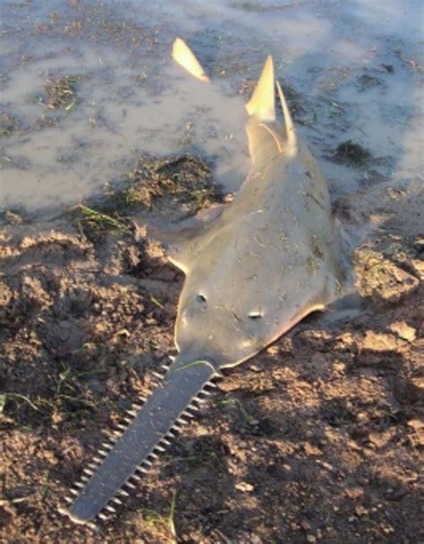 Gergaji Ajaib ikan hiu gergaji hewan langka dunia dari danau sentani