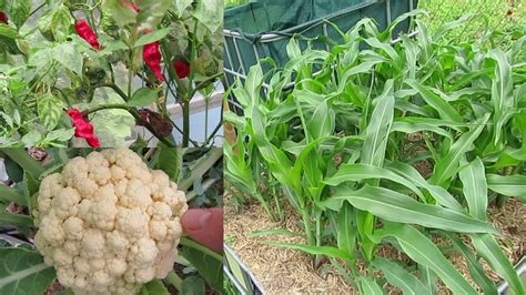 Backyard Gardening by Backyard Veggie Garden End Of January Update 19th Jan