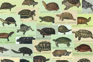 colors of the turtles individual 11 quot x 14 quot turtle and tortoise water color