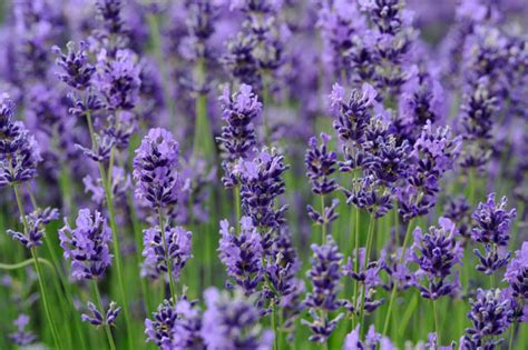 related keywords suggestions for lavandula plant