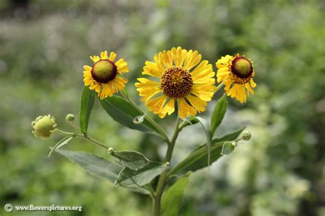 flower pictures sneezeweed picture 34
