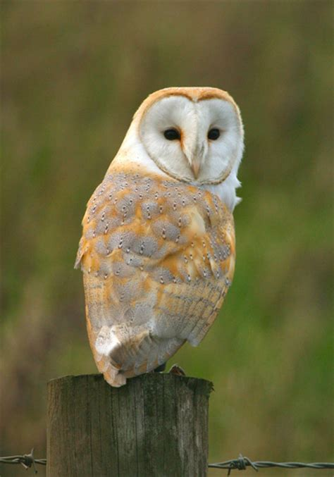 barn owl sweet and animals barn owl pictures