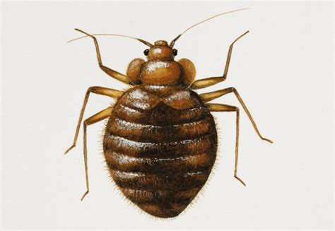 what are bed bugs and where do they come from how to get rid of bed bugs and what do they look like
