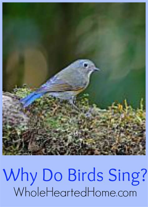why do birds sing wholehearted home