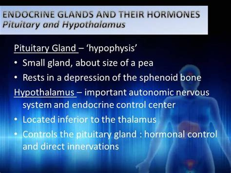 Endocrine System 2 Authorstream Endocrine System Powerpoint