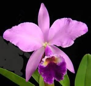 imagenes de flores unicas esta es la orquidea cattleya es una de las mayores rique