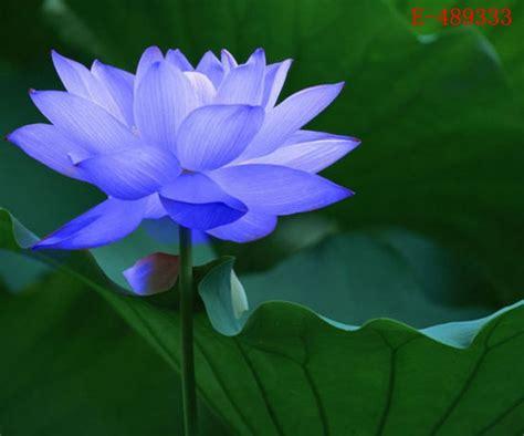 10 seeds lotus bowl water nelumbo nymphaea sapphire