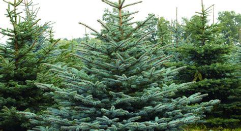 tradition weihnachtsbaum tradition voll im trend weihnachtsb 228 ume