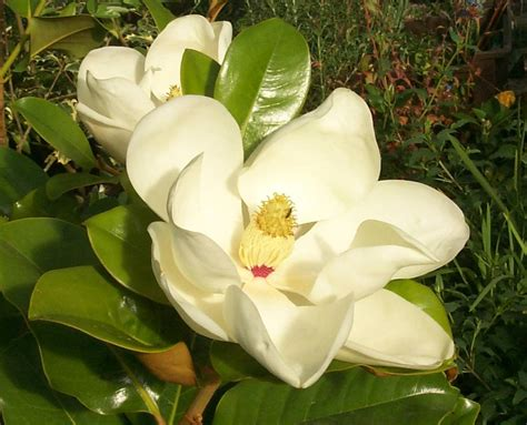 magnolia fiore maneras de mi flor la magnolia 4