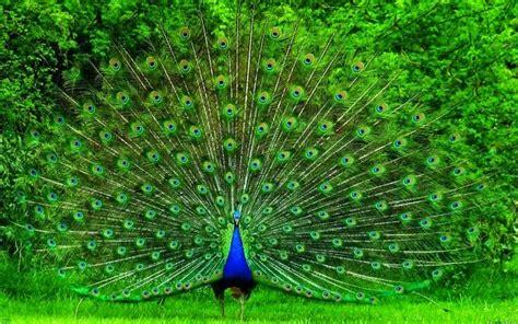 Harga Pakan Burung 2017 harga burung merak terbaru 2017 berbagai umur gemar