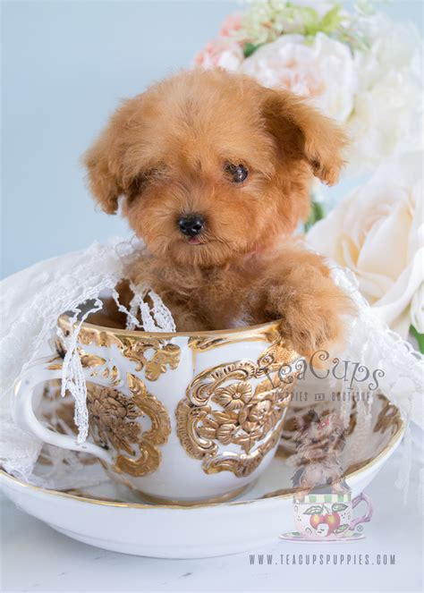 teacup puppies florida poodle puppies in south florida teacups puppies boutique