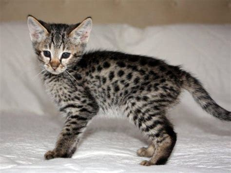 cute serval ocelot asian leopard cats   Toronto   Cats for