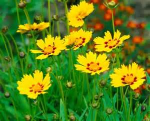 coreopsis a profile of a perennial flower howstuffworks