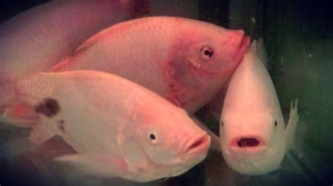 Bibit Nila Monosex ternak ikan nila hewan ternak