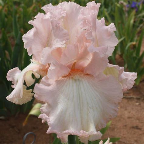 36 Best Irises Pink Crimson Rosy Hues Images On Iris Flower Garden