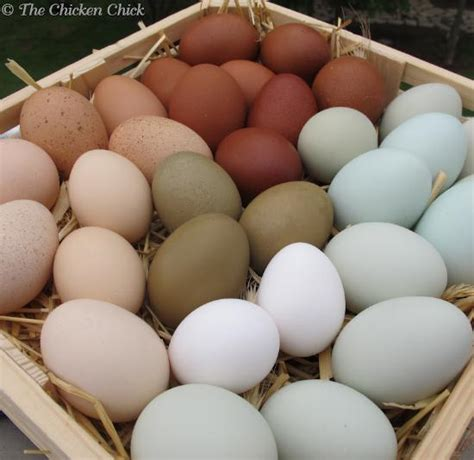 chicken egg colors how a chicken makes an egg and why some eggs are