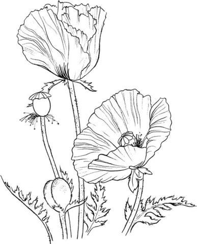 oriental poppy coloring page supercoloring com
