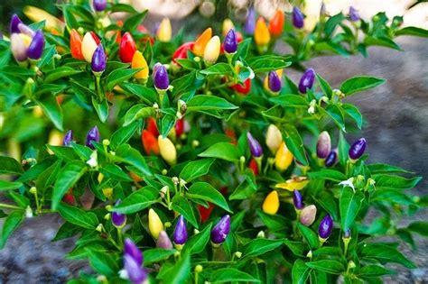 Bibit Jagung Ungu alam mengembang jadi guru buah dan sayuran berwarna ungu