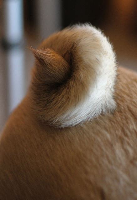 do pugs tails 132 best pugs o my images on pug dogs doggies and pug puppies