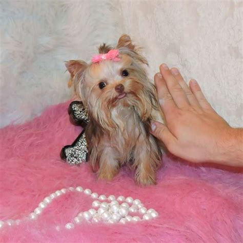 chocolate yorkie breeders chocolate yorkie puppy for sale sassy teacup yorkies sale