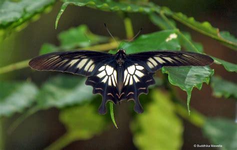 imagenes mariposas mas bonitas mundo conoce las 23 mariposas m 225 s hermosas del mundo 161 parecen