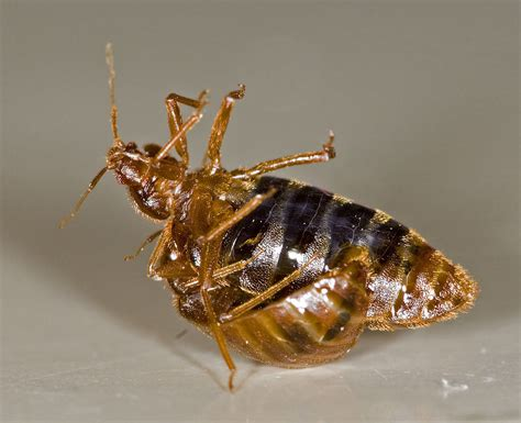 bed bug wiki traumatic insemination wikipedia