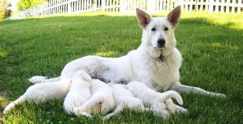 white german shepard puppy white german shepherd puppies ravenswood hollow 262 642 3841