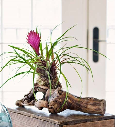 Home Decorative Items tillandsia air plant on grape wood branch decorative accents