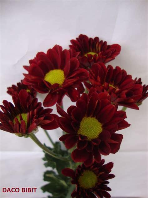 jual tanaman hias bunga krisan merah dacochi tokopedia