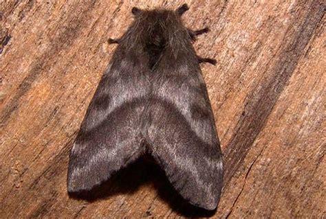 imagenes de mariposas negras grandes qu 233 es la quot mariposa negra quot y c 243 mo prevenirse teleaire