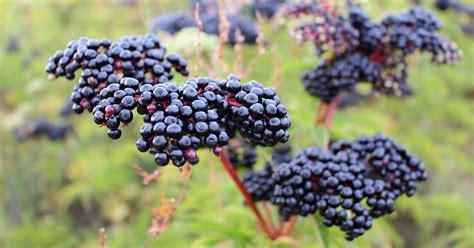 top elderberry varieties  grow   backyard
