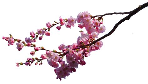 Cherry Blossom Branches Png Stock By Astoko On Deviantart Cherry Blossom Branch