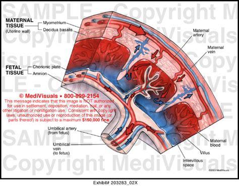 placenta diagram medivisuals placental anatomy illustration