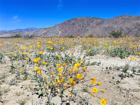super bloom anza borrego 11 super photos from super bloom anza borrego desert state